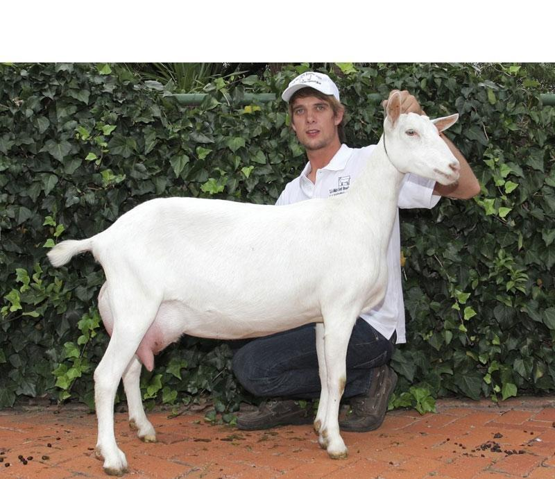 Ketosis / Pregnancy Toxaemia In Milk Goats Go Back Author: Milk Goat Breeders' Society Date Published: 01 March 2016