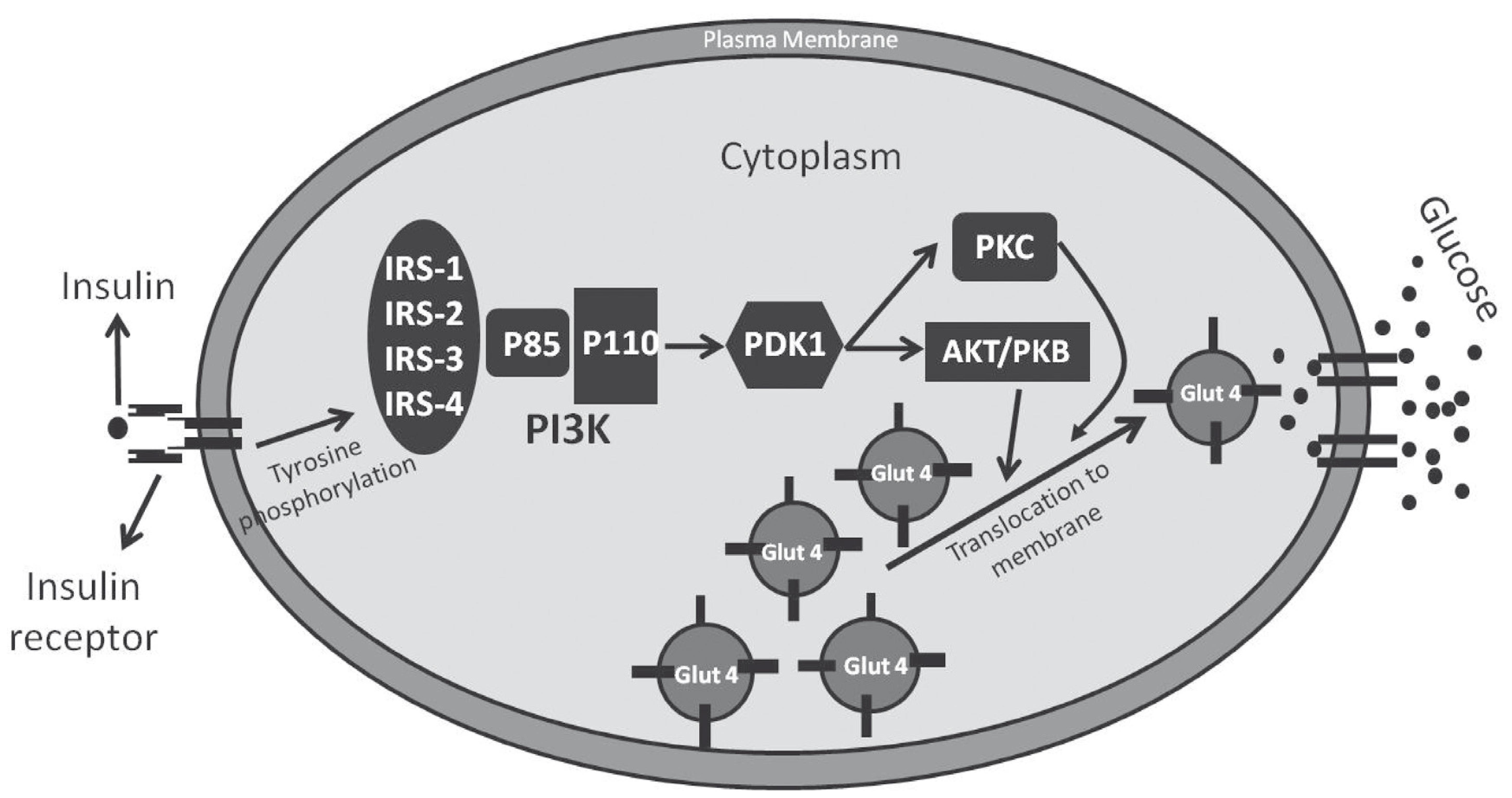 General Aspects Of Muscle Glucose Uptake