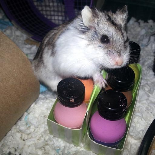 Diabetes In Dwarf Hamsters