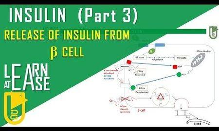 How Is Insulin Released