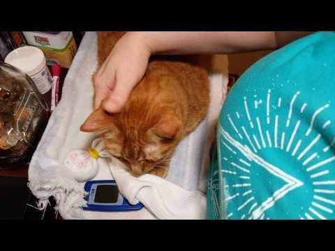 Cat's Blood Sugar Over 600