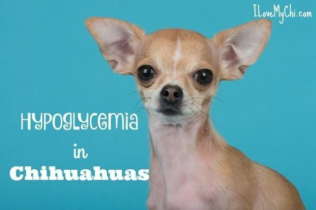 Hypoglycemia In Chihuahuas
