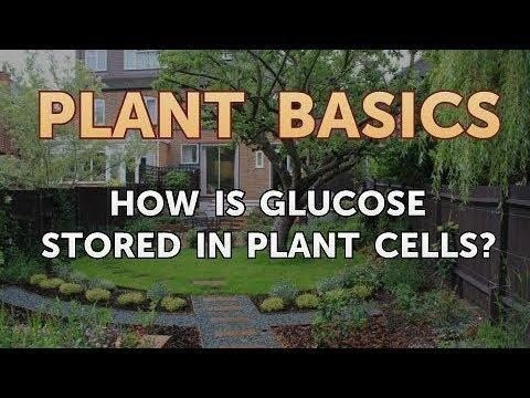 Where Is Glucose Stored In The Cell?