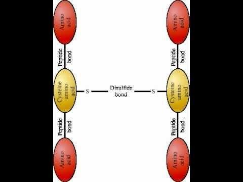 Insulin Has How Many Disulfide Bonds