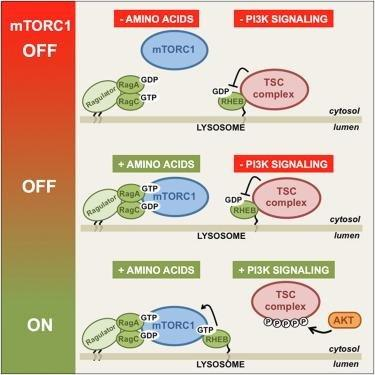 Spatial Control Of The Tsc Complex Integrates Insulin And Nutrient Regulation Of Mtorc1 At The Lysosome - Sciencedirect