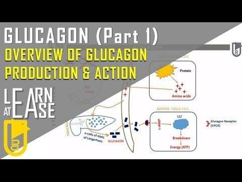 How Insulin And Glucagon Work