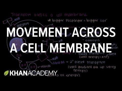 How Does Glucose Move Across The Cell Membrane?