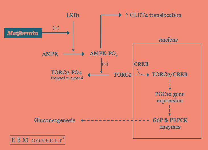 Metformin Reduces Blood Glucose Levels By