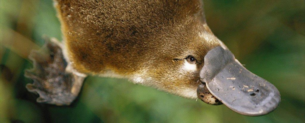 Platypus Venom Could Be The Future of Diabetes Treatments