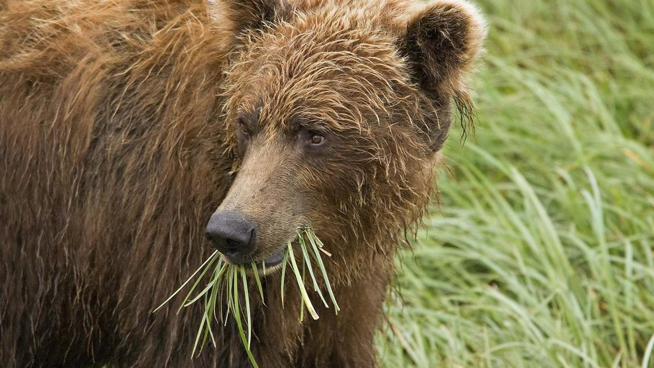 How Fat Grizzly Bears Stay Diabetes-free