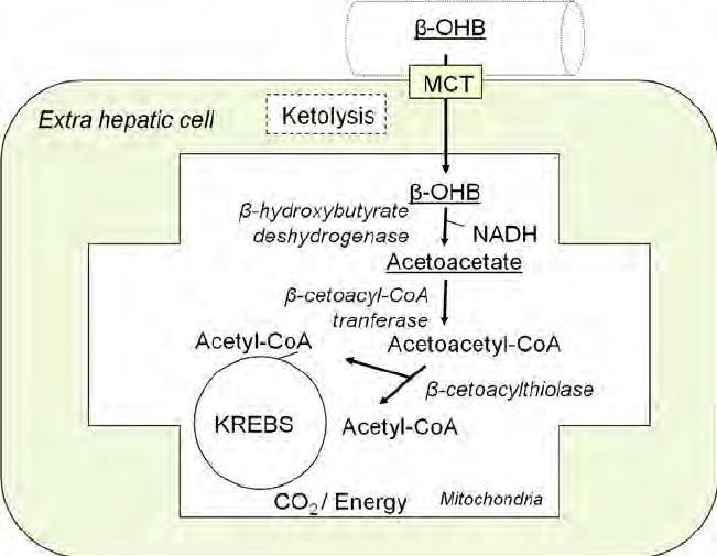 Fig. 6. Ketolysis Pathway. Β -ohb: Β -hydroxybutyrate