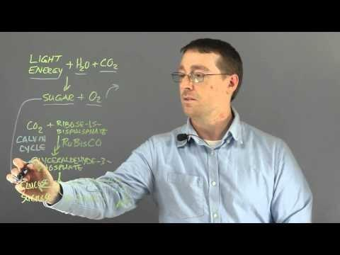 Light & Dark Reactions In Photosynthesis | Wyzant Resources