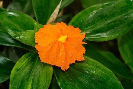 Insulin Plant Wikipedia