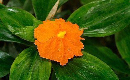 Insulin Plant Flower