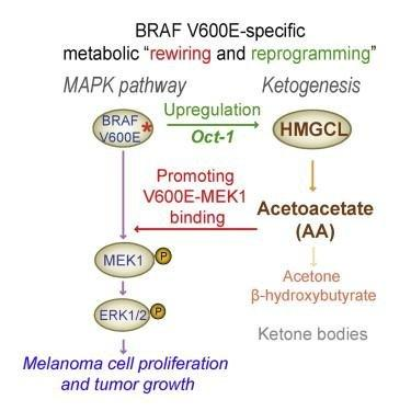 Article Metabolic Rewiring By Oncogenic Braf V600e Links Ketogenesis Pathway To Braf-mek1 Signaling
