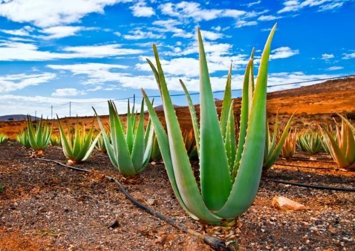 Aloe vera should be investigated as diabetes treatment, study says