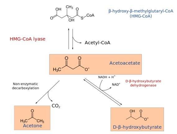 6.9: Ketone Body Synthesis
