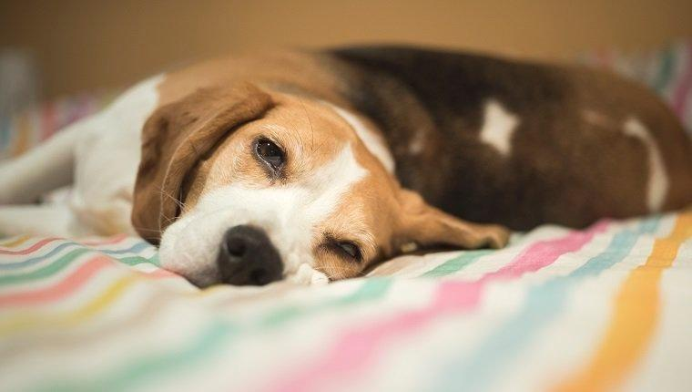 Hypoglycemia (low Blood Sugar) In Dogs: Symptoms, Causes, And Treatments