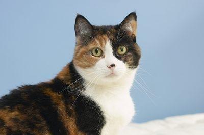 Hypoglycemia In Non-diabetic Cats