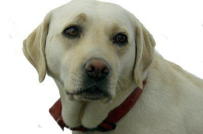 Training Service Dogs For Diabetics