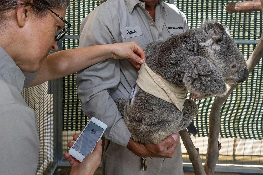 Quincy The Koala Uses Dexcom G6 (with Video)