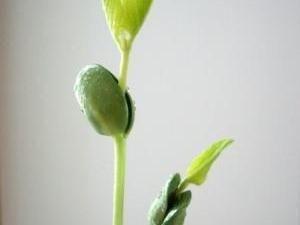 Soybean Oil Causes More Diabetes Than Sugar