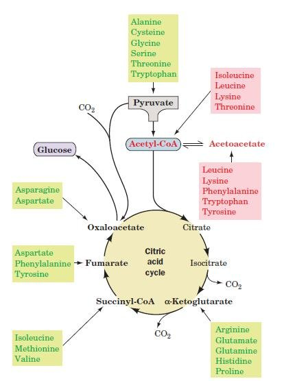 Why Can't Ketogenic Amino Acids Make Glucose