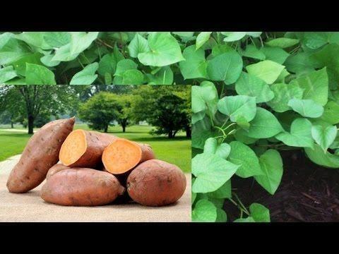 Are Sweet Potatoes Good For Diabetics