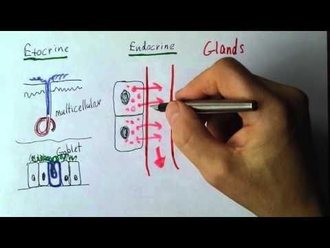 Exocrine Vs Endocrine Glands: Medical Terms