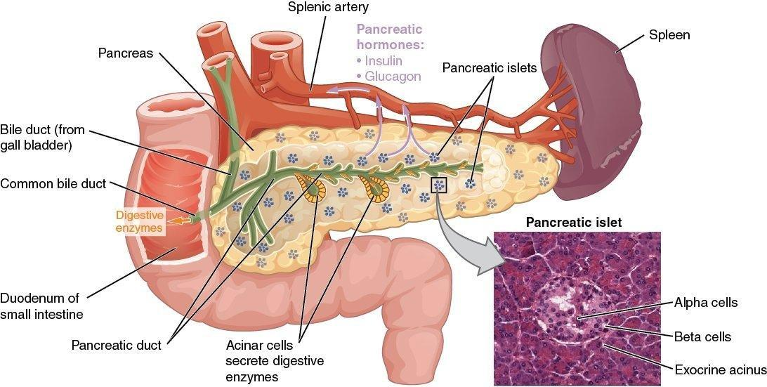 114 17.9 The Endocrine Pancreas