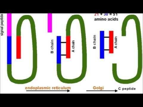 Insulin Synthesis Steps