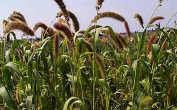 Foxtail Millet Good For Diabetes Patients