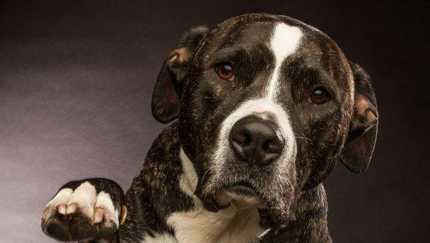 Pitbull Saves Child From Hypoglycemia