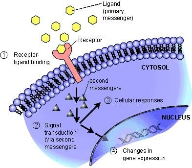 What Are Receptor Proteins?