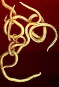 Parasitic Worms Could Become Basis For Type 1 Therapy