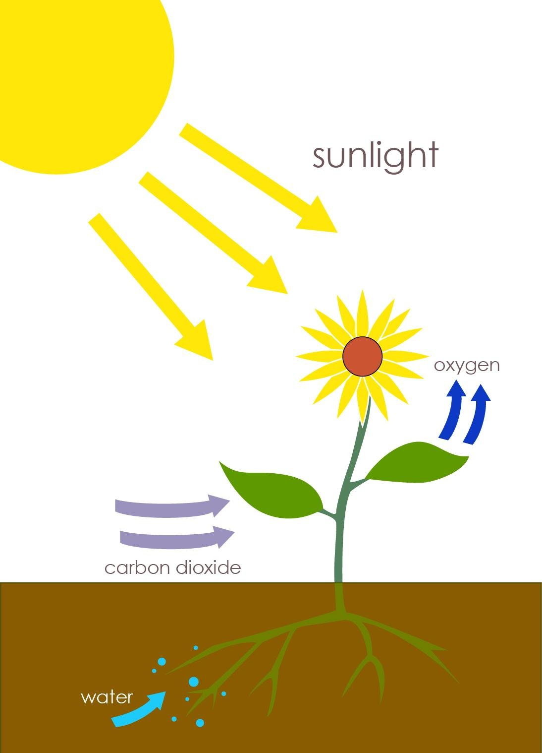 Name Five Substances That Plants Make From The Glucose Produced In Photosynthesis