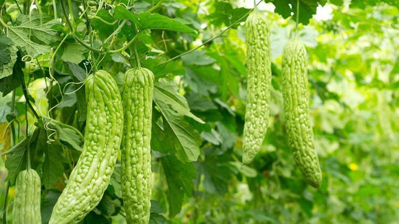 Bitter melon tops herbal remedies for diabetes