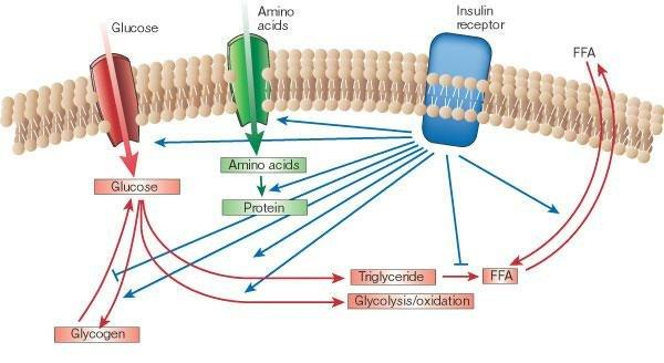 Does Insulin Promote Fat Storage