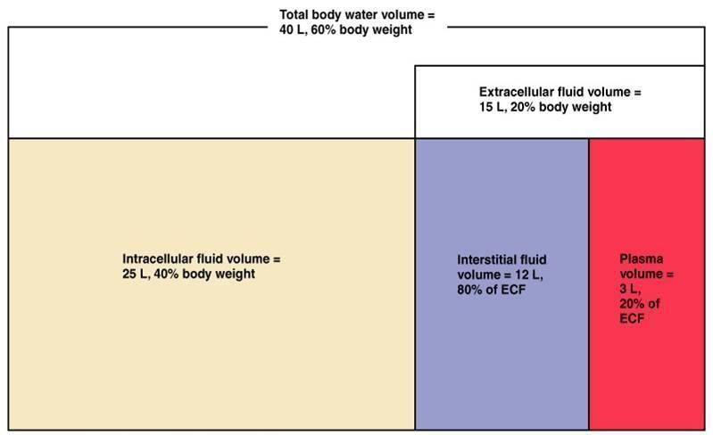 Describe How The Kidneys Respond To Respiratory Acidosis