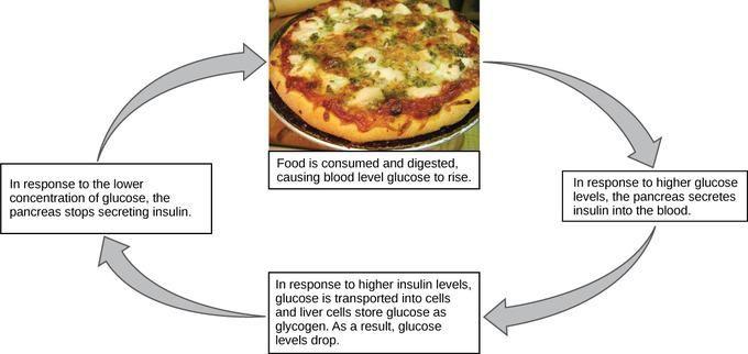 Why Is Blood Sugar A Negative Feedback