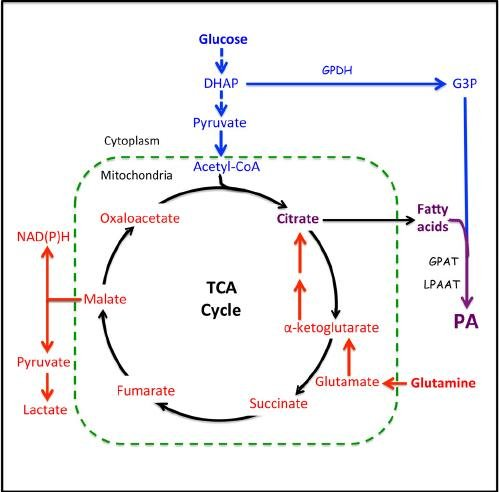 Metabolic Pathways From Glucose And Gln To Pa. Glucose Is Converted...