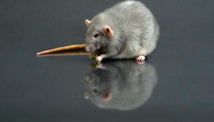 What Foods Are Dangerous For Rats To Eat?