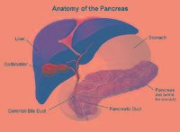 Pancreas: Anatomy And Functions