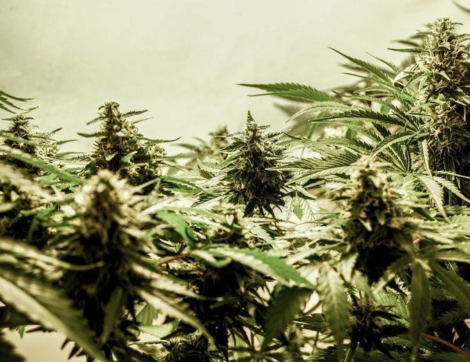 Medical Marijuana Diabetes