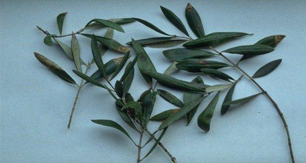 SAY GOODBYE TO BRAIN HEMORRHAGES, DIABETES, HYPERTENSION, ALZHEIMER'S AND MORE WITH THE USE OF THESE SIMPLE LEAVES!