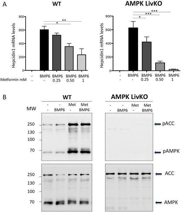 Ampk Is Not Required For The Effect Of Metformin On The Inhibition Of Bmp6-induced Hepcidin Gene Expression In Hepatocytes