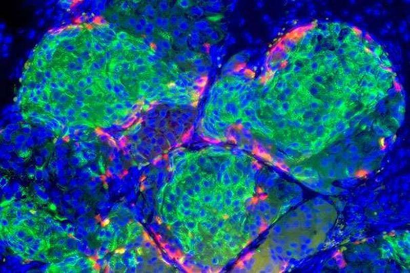 Beta Cells In Pancreas