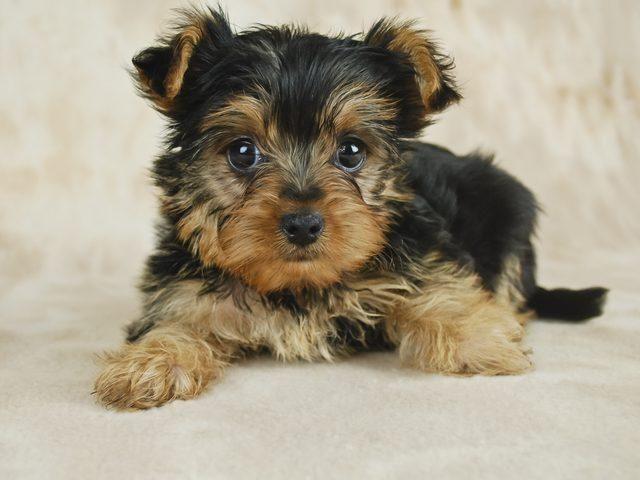Hypoglycemia Yorkie Puppies