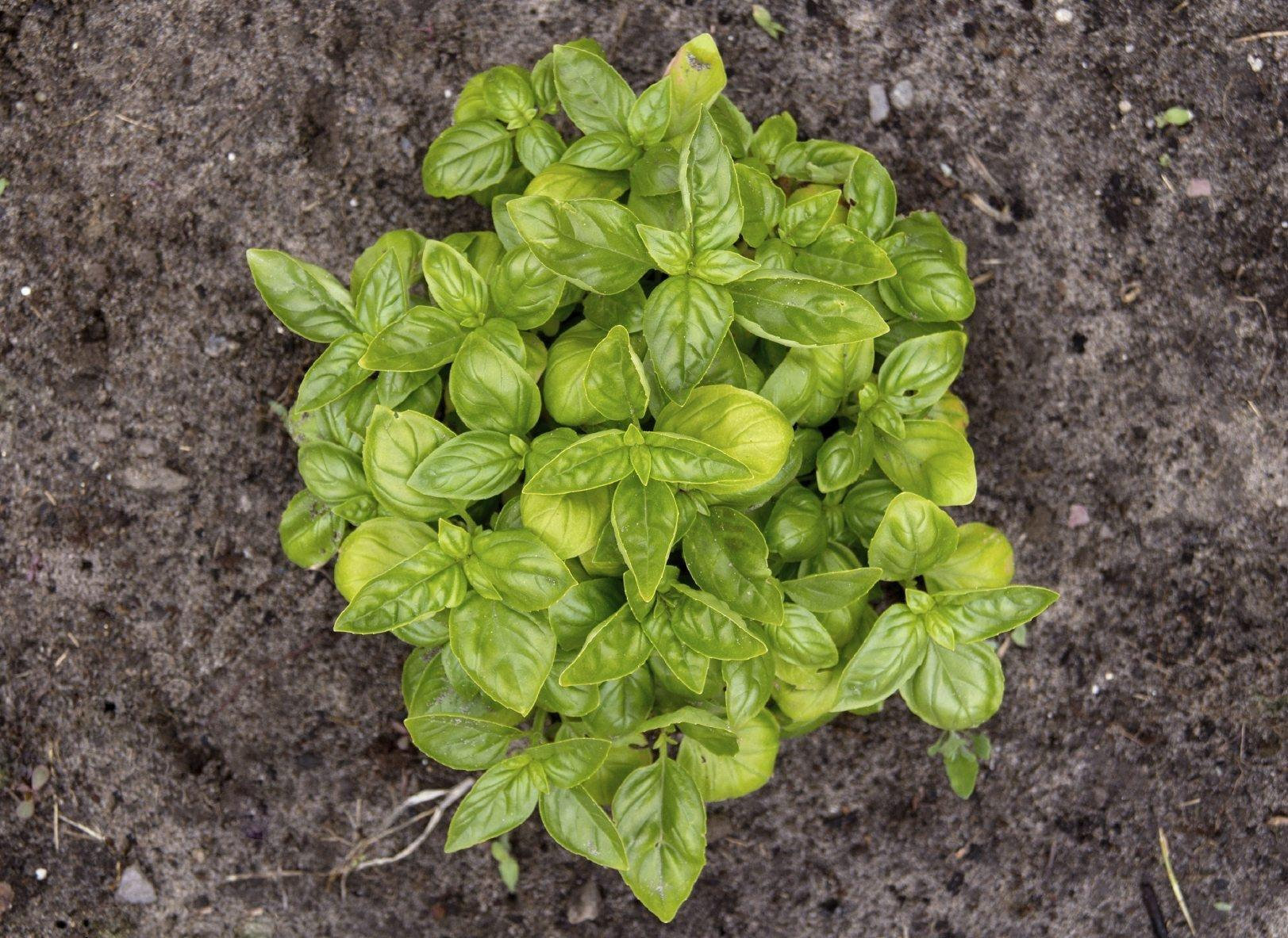 Reasons For Yellowish Basil Leaves ? What Causes Basil Leaves To Turn Yellow