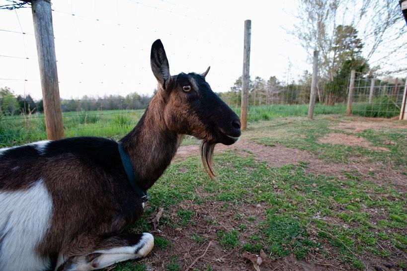Dairy Goats: Dealing With Ketosis